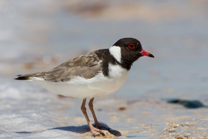 plover adult